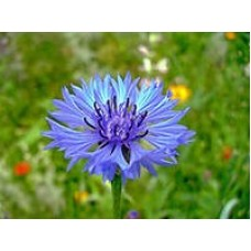 Василек синий (цвет)